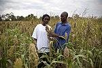USAID promotes growing alternative staple crops in Kenya such as sorghum (7603959342).jpg