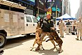 US Navy 110527-N-GZ228-040 Marine Sgt. Bryan Burgess simulates being attacked by two K-9 attack dogs on Military Appreciation Day at Times Square.jpg
