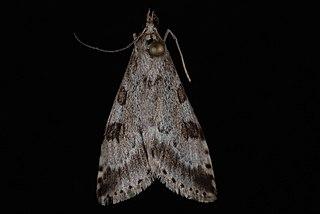 <i>Udea washingtonalis</i> Species of moth