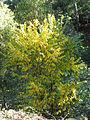 Ulmus pumila Habitus 2010-11-01 SierraMadrona.jpg