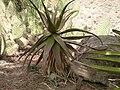 Unidentified Aloe plant.jpg