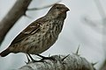 Unidentified bird -Galapagos Islands-8.jpg