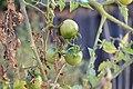 Unripe tomatoes 2 2017-11-21.jpg