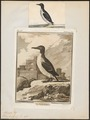 Uria troile - 1700-1880 - Print - Iconographia Zoologica - Special Collections University of Amsterdam - UBA01 IZ17800303.tif