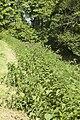 Urtica dioica (Grande ortie) 02.jpg