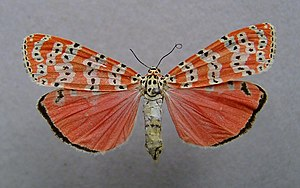 Utetheisa ornatrix - Mounted