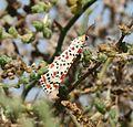 Utetheisa pulchella (Crimson-speckled Flunkey) - Flickr - S. Rae.jpg