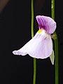 Utricularia blanchetii (35086258935).jpg