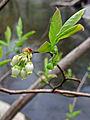 Vaccinium corymbosum - Highbush Blueberry.jpg