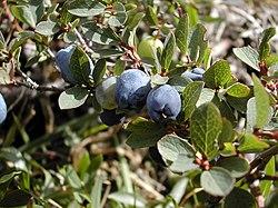 Vaccinium uliginosum fruit.jpg