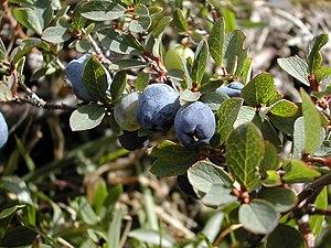 Vaccinium uliginosum - Leaves and fruit