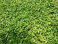 Vadal Grass 2.jpg