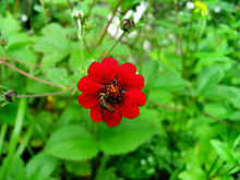 ValleyOf Flowers RedFlowerwithBee.jpg