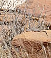 Variegated Skink (Trachylepis variegata) (32438743812).jpg