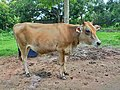 Vechur Cattle - Bos indicus cattle 3.jpg
