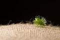 Velcro seed.jpg