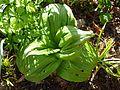 Veratrum nigrum new foliage - Flickr - peganum.jpg