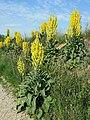 Verbascum speciosum sl25.jpg