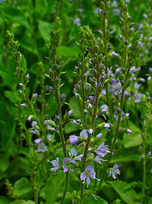Veronica officinalis 002.JPG