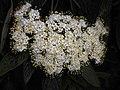 Viburnum rhytidophyllum 2016-05-17 0794.jpg