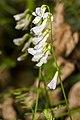 Vicia sylvatica 06.jpg
