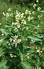Vincetoxicum hirundinaria sl3.jpg