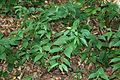 Vincetoxicum rossicum SCA-5358.jpg