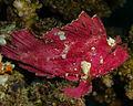 Violet Leaf Fish (3386316578).jpg