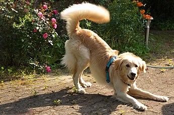 Body Language Of Dogs Wikipedia