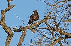 Wahlberg's Eagle (Hieraaetus wahlbergi) (16723445432).jpg