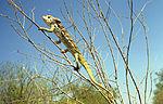 Warty Chameleon (Furcifer verrucosus) (8603071067).jpg