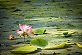Water lily Banaglore (48186392607).jpg