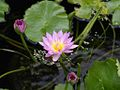 Waterlily (5155648107).jpg