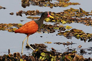 Wattled jacana species of bird
