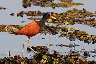 Wattled jacana - Adult J. j. jacana the Pantanal, Brazil