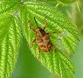 Weevil. Curculio venosus (33868947663).jpg