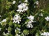 Westringia fruticosa 03.jpg