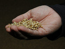 Malted barley is an ingredient of some whiskies.