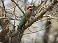White-fronted Bee-eater RWD1.jpg