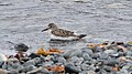White-rumped Sandpiper (Calidris fuscicollis) - Witless Bay, Newfoundland 2019-08-09 (01).jpg