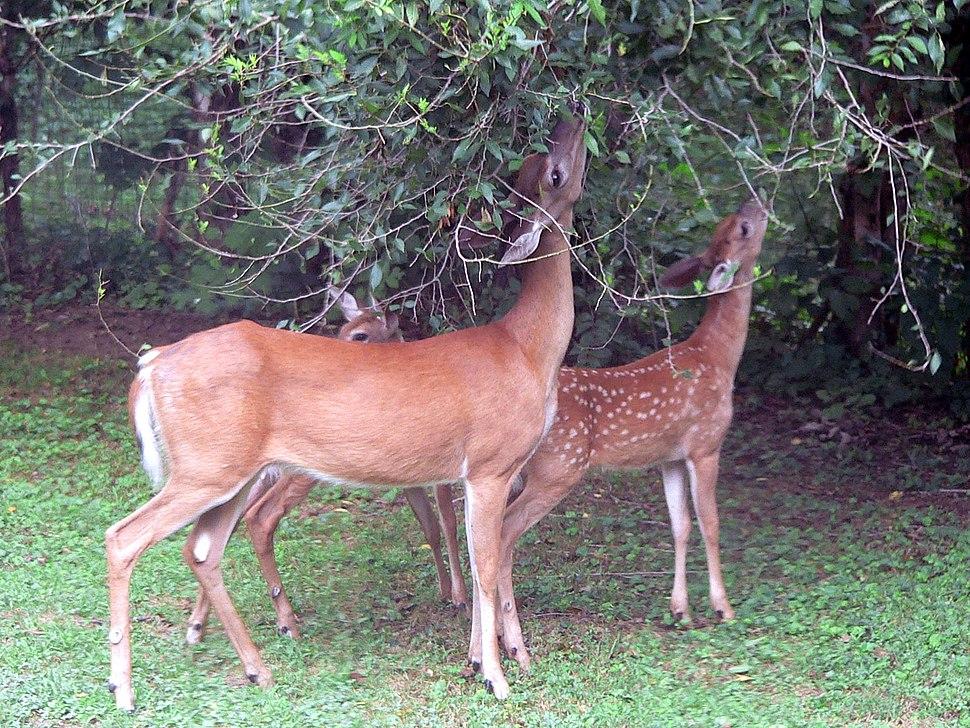 White-tailed deer (Odocoileus virginianus) grazing - 20050809
