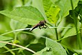 White-tailed robber fly (42548154294).jpg