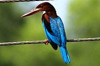 White-throated Kingfisher (Shankar)