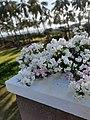 White Bougainvillea on a balcony.jpg