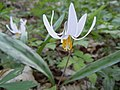 White Trout Lily (14109144236).jpg