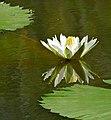 White Waterlily (Nymphaea lotus) (32751186043).jpg