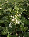 White dead-nettle near North Whilborough - geograph.org.uk - 607046.jpg