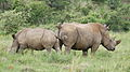 White rhinoceros or square-lipped rhinoceros, Ceratotherium simum. Note that in some of these photos there are a female with a calf, and a male that seems to have been challenging the calf. (16717353054).jpg