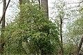 Wildapfelbaum, Malus sylvestris.jpg