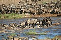 Wildebeest crossing river - Stefan Swanepoel.jpg